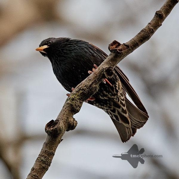 European Starling_2019-05-18_1