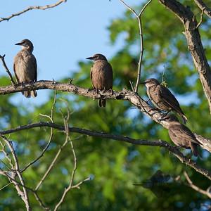 European Starling_2019-07-21_2