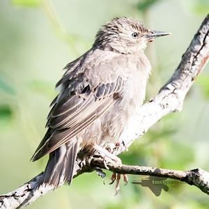 European Starling_2019-08-18_1