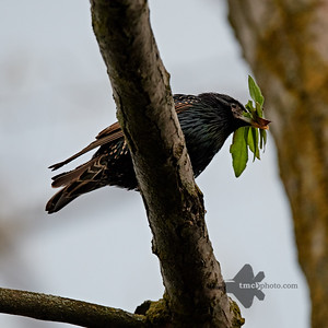 European Starling_2019-05-18_2