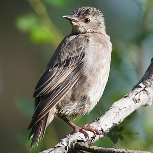 European Starling_2019-08-18_3