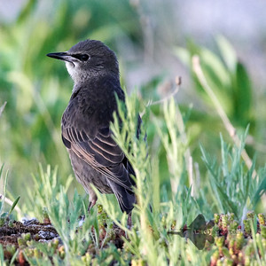 European Starling_2019-06-09_6