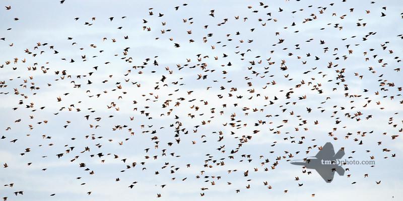 European Starling_2019-07-21_4