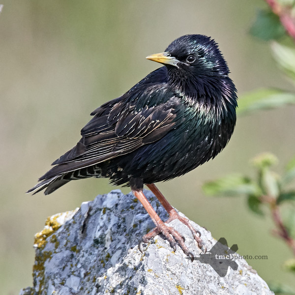 European Starling_2019-06-09_9
