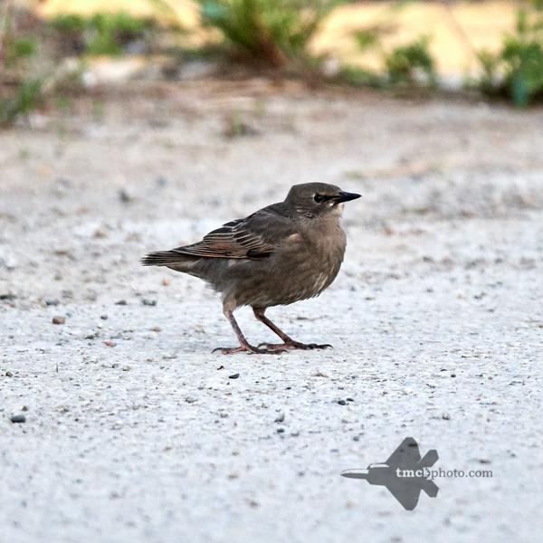 European Starling_2019-06-09_1