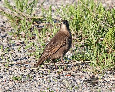 European Starling_2019-06-09_8