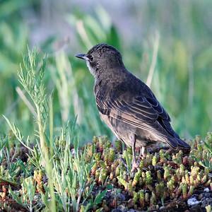 European Starling_2019-06-09_5