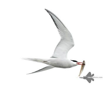 Common Tern_2019-05-11_1