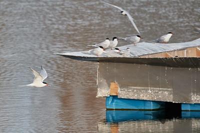 Common Tern_2019-05-18_2