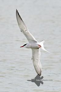 Common Tern_2019-06-01_3
