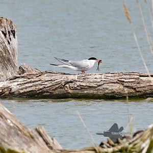 Common Tern_2019-06-01_1