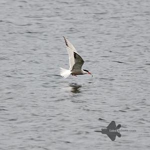 Common Tern_2019-06-09_1