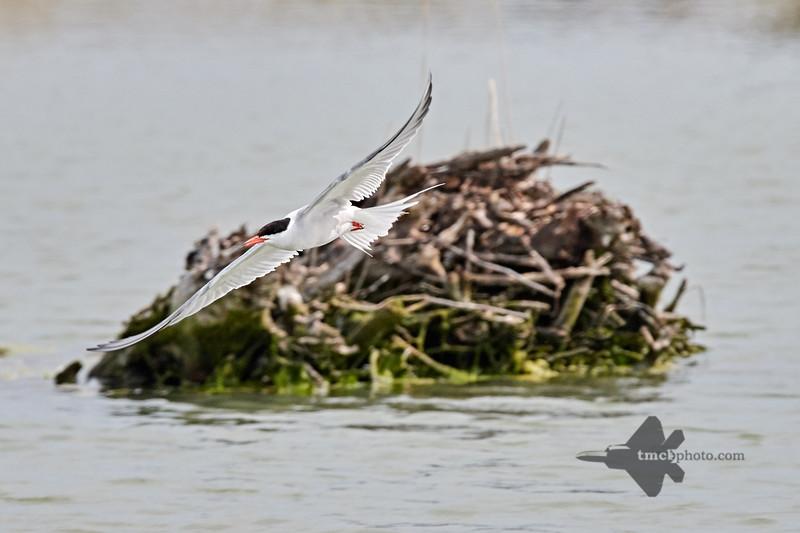 Common Tern_2019-06-01_2