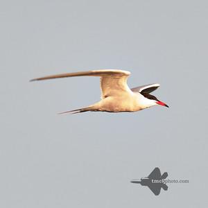 Common Tern_2019-05-18_1