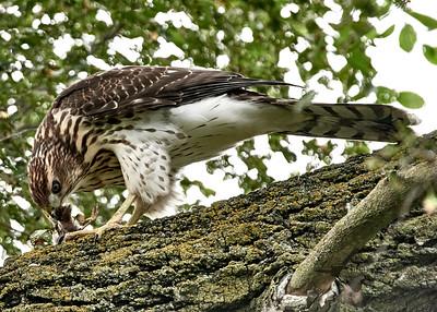 Cooper's Hawk_2019-07-29_4