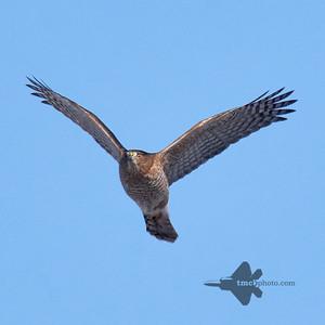 Cooper's Hawk_2019-12-21_1