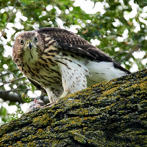 Cooper's Hawk_2019-07-29_5