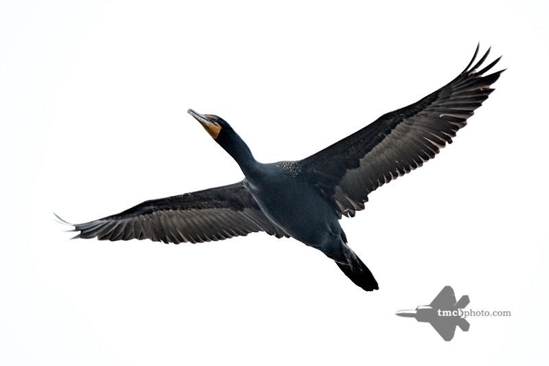 Cormorant_2019-05-11_4