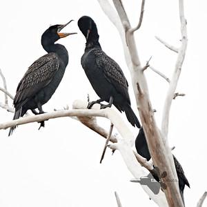 Cormorant_2019-05-11_2