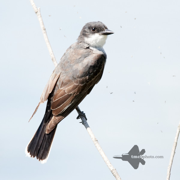 Eastern Kingbird_2019-08-25_1