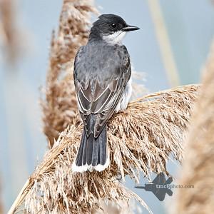 Eastern Kingbird_2019-06-09_3