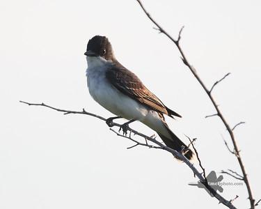 Eastern Kingbird_2019-07-21_2