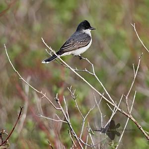 Eastern Kingbird_2019-06-01_1