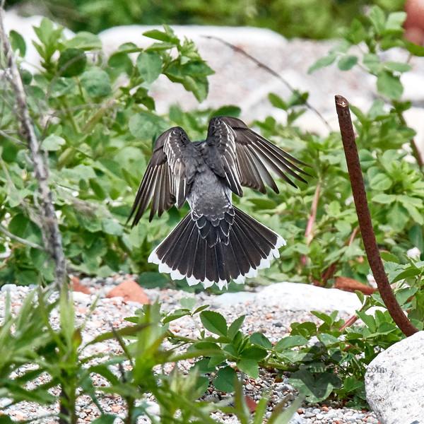 Eastern Kingbird_2019-06-02_2