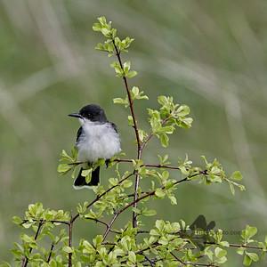 Eastern Kingbird_2019-06-01_4