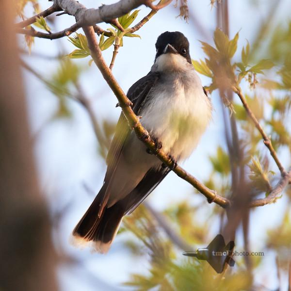 Eastern Kingbird_2019-05-18_1