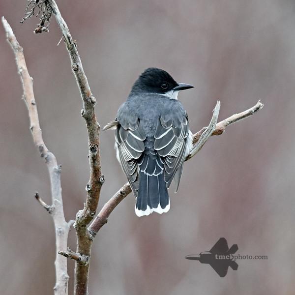 Eastern Kingbird_2019-05-11_2