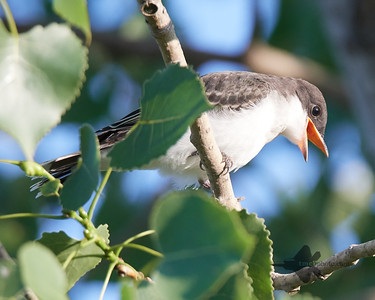 Eastern Kingbird_2019-07-21_1