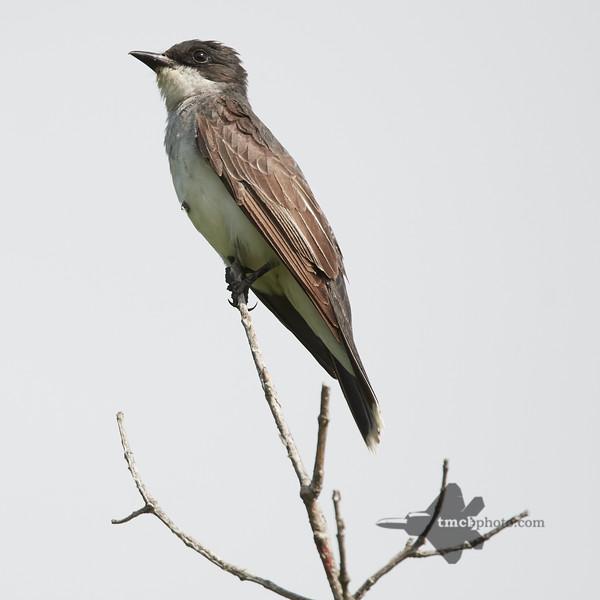 Eastern Kingbird_2019-08-18_3