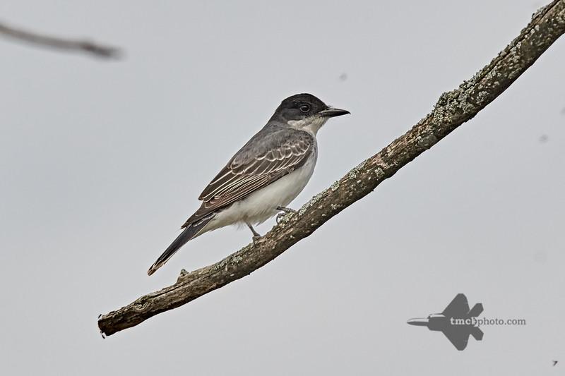 Eastern Kingbird_2019-05-18_3