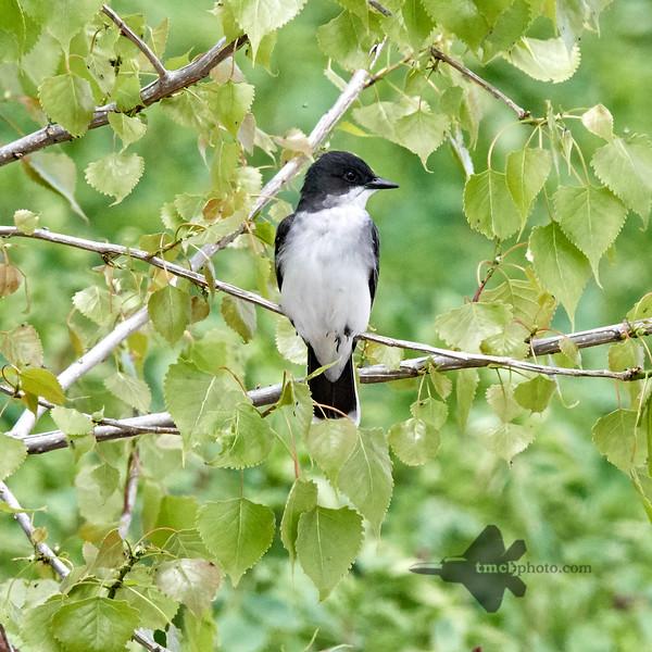 Eastern Kingbird_2019-06-02_1