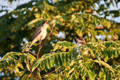 Eastern Kingbird_2019-09-08_2