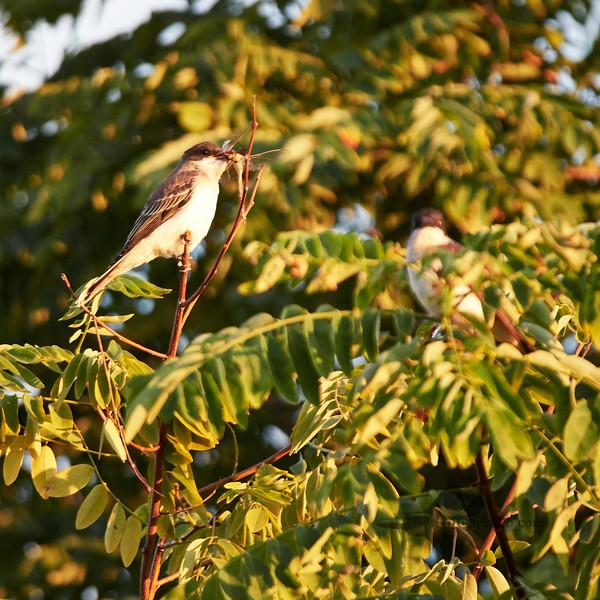 Eastern Kingbird_2019-09-08_1