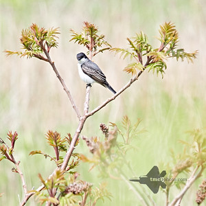 Eastern Kingbird_2019-06-01_5