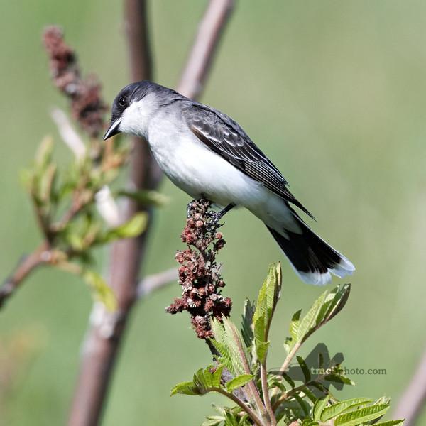Eastern Kingbird_2019-06-02_4