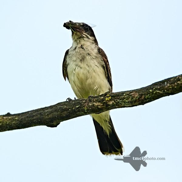 Eastern Kingbird_2019-08-18_2