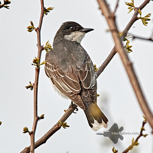 Eastern Kingbird_2019-06-01_2