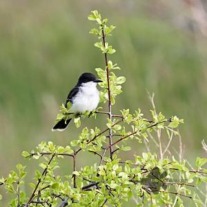 Eastern Kingbird_2019-06-01_3