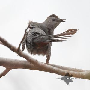 Catbird_2019-05-11_3