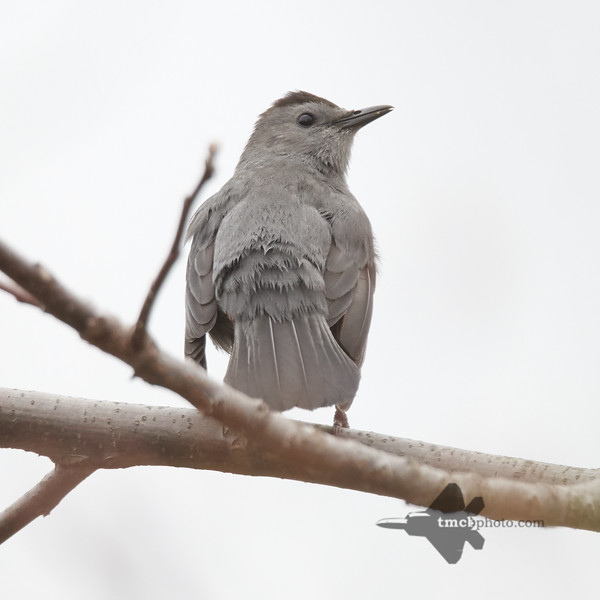 Catbird_2019-05-11_2