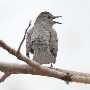 Catbird_2019-05-11_1