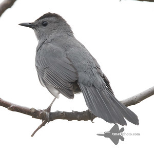 Catbird_2019-05-11_4