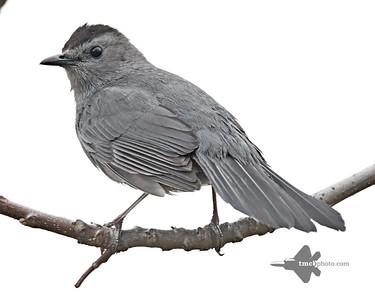 Catbird_2019-05-11_5