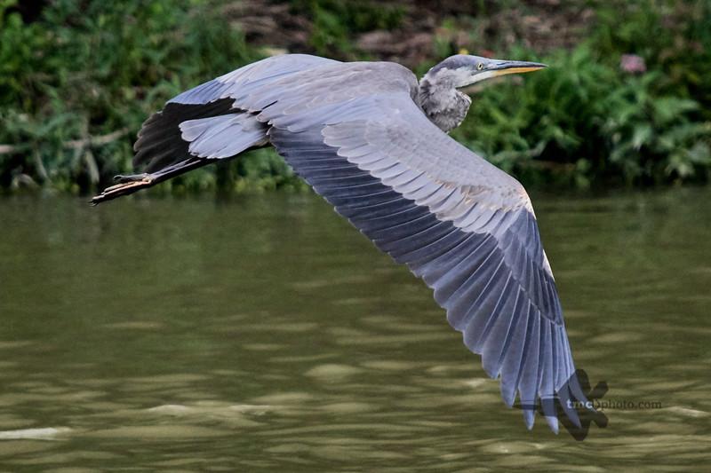 Great Blue Heron_2019-07-28_6