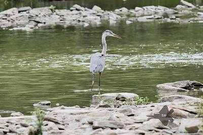 Great Blue Heron_2019-07-28_4