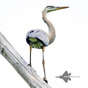 Great Blue Heron_2019-07-27_2